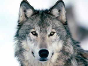wolf-hoofd